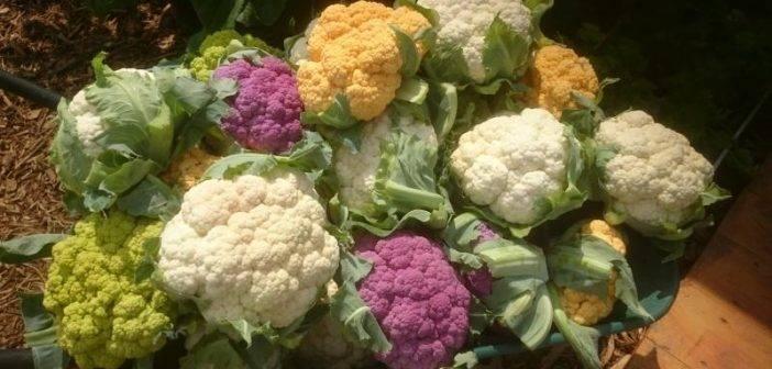 Лучшие сорта цветной капусты (фото, описание)