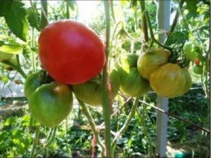 Описание сорта томата дрова — особенности выращивания