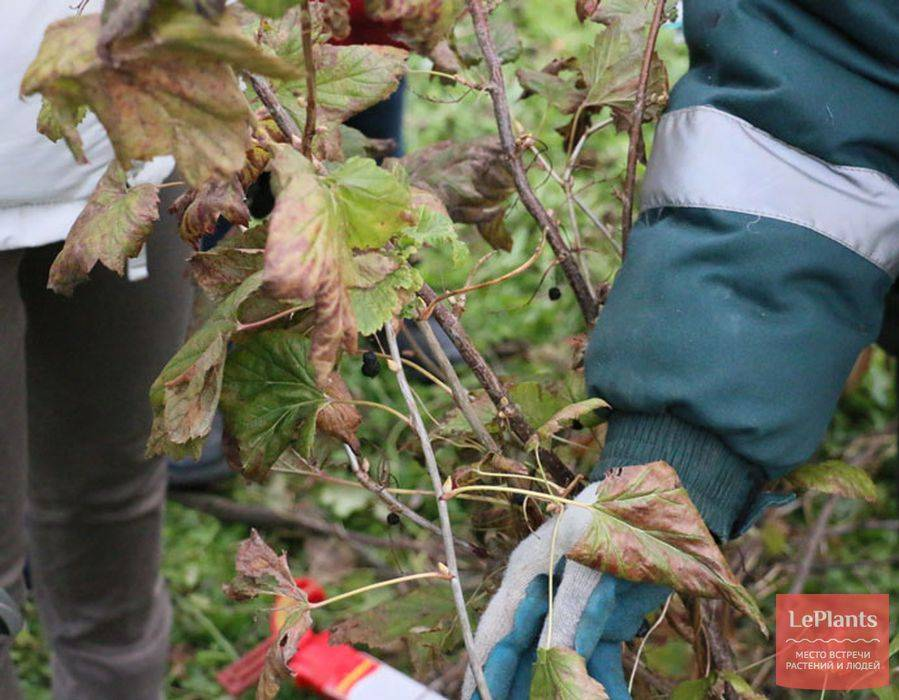 Обрезка смородины осенью для начинающих: как обрезать кусты красной и черной, видео, уход после