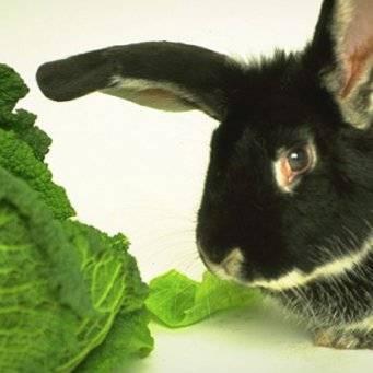 Едят ли домашние и декоративные кролики капусту (белокочанную, пекинскую, цветную, квашеную)