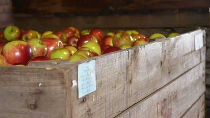 Как сохранить яблоки свежими зимой: сбор, обработка, подготовка помещения