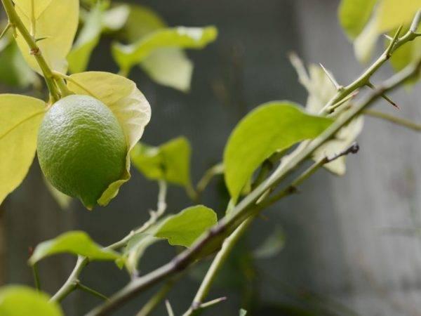 Лимон на подоконнике стоить без листьев, можно его спасти?