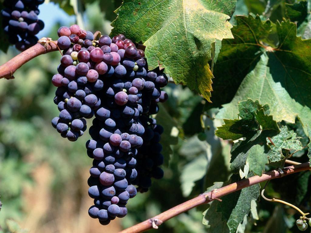 «черный жемчуг» – виноградная драгоценность - архив тульских новостей