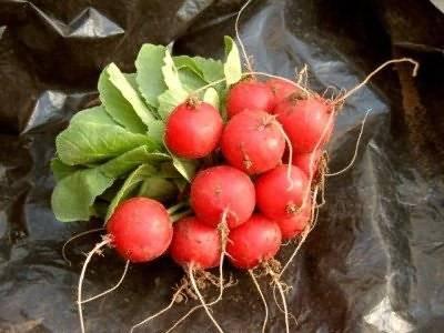 Выращивание редиса в теплице: как правильно сажать, в том числе и зимой на продажу, подготовка семян перед посевом, как часто поливать, а также уход за овощем русский фермер