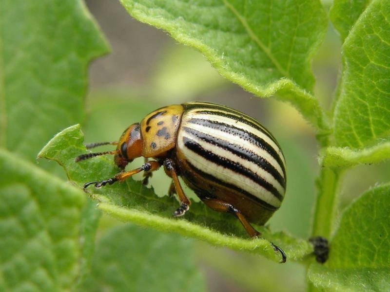 Деготь от колорадского жука: способы применения, рекомендации с фото и видео