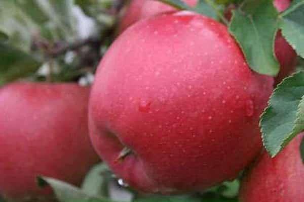 Яблоня «гала»: описание сорта, фото и отзывы