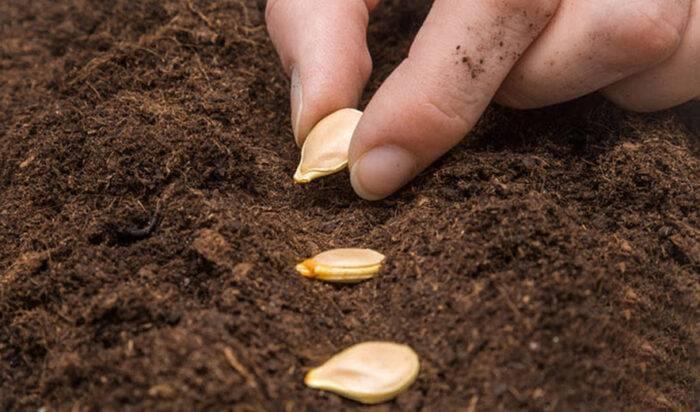 Как правильно посадить тыкву в открытый грунт, на каком расстоянии, что можно сажать рядом с ней на грядке, схема посадки