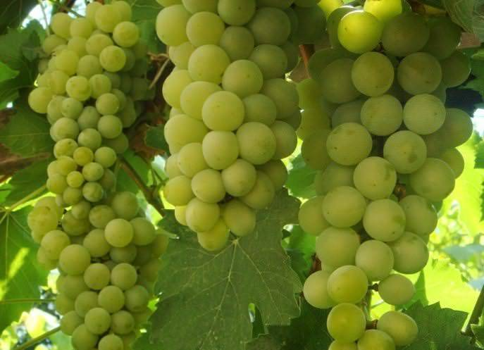 Виноград подарок магарача: описание сорта, фото