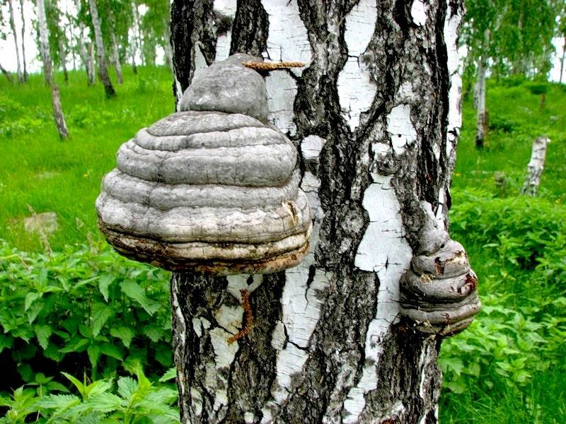 Чага на березе: как выглядит и как растет гриб