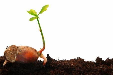Как вырастить дуб из желудя в домашних условиях: проращивание в горшке