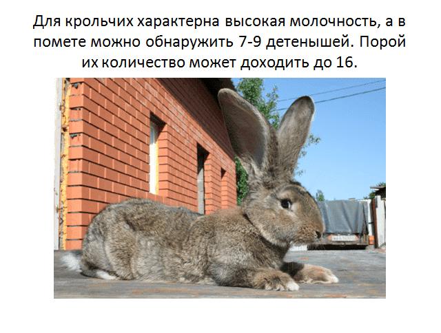 Срок вынашивания крольчат