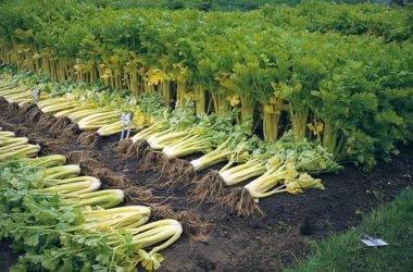 Сорта корневого сельдерея и правила их выращивания