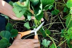Уход за клубникой весной: как добиться хорошего плодоношения