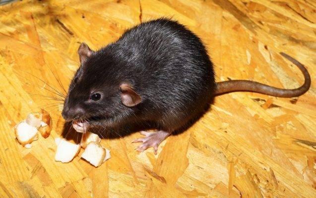 Как избавиться от крыс в курятнике: способы борьбы с вредителями