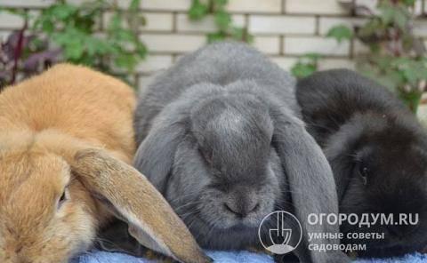 Кролики породы баран: французский, голландский, английский