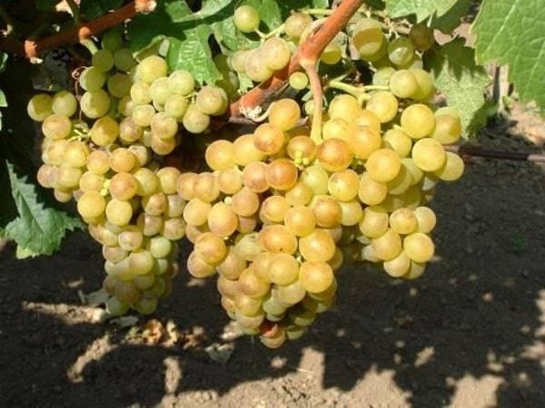 Виноград черный жемчуг: описание сорта, фото, отзывы