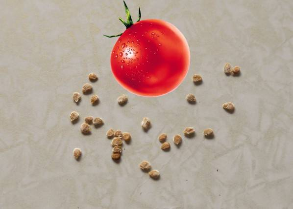 Как прорастить семена помидоров на рассаду – перед посадкой, в домашних условиях, быстро и правильно, видео
