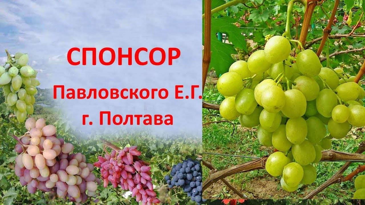 """Виноград """"спонсор"""": описание сорта, подробные характеристики и фото"""