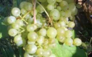 Синие, зеленые, розовые сорта винограда: описание и характеристики
