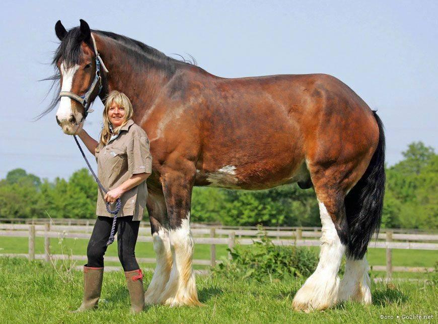 Порода лошадей першерон: описание породы ее размеры (+фото и видео)