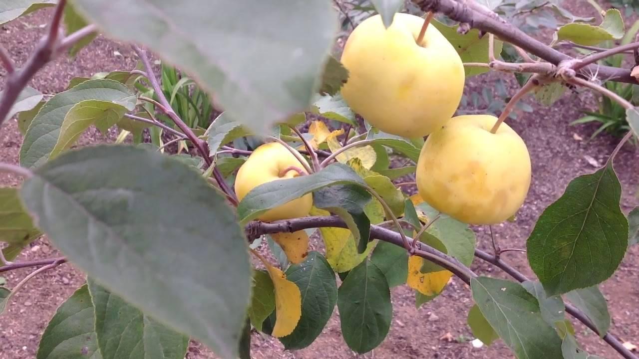 Уральское наливное яблоко – сорт проверенный десятилетиями
