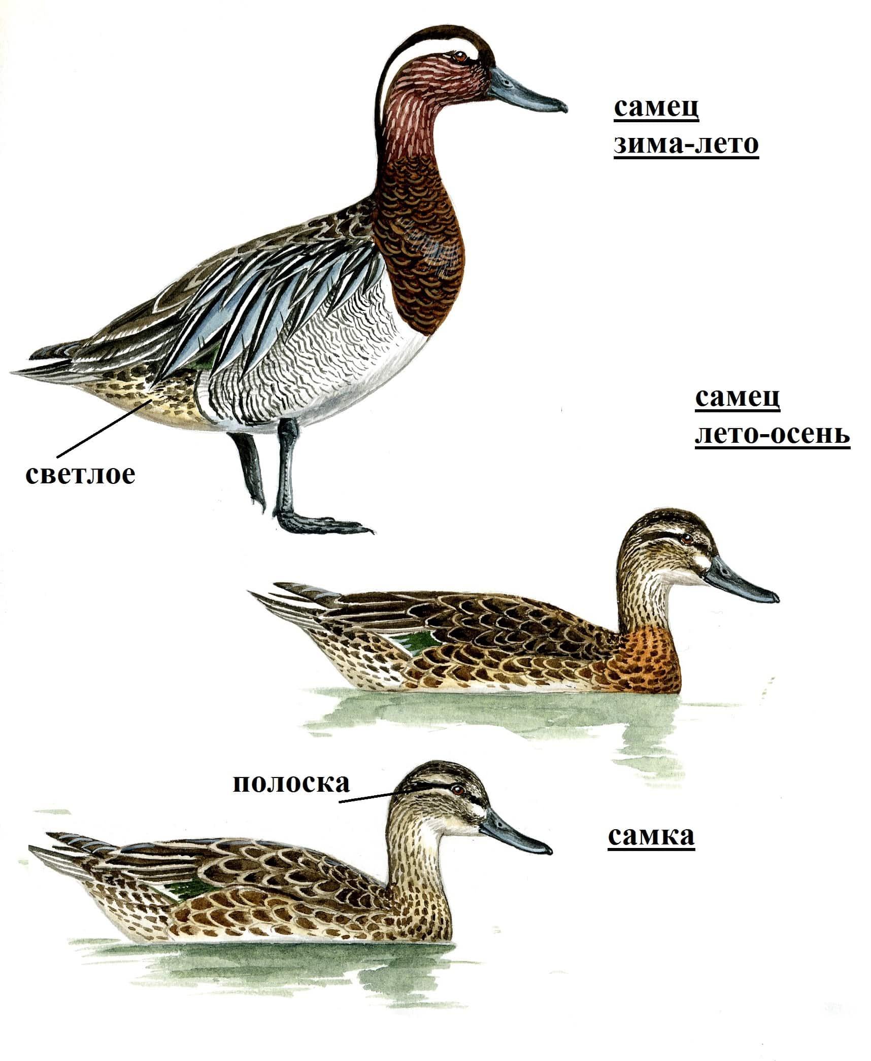 Птица чирок-клоктун: [фото, описание и характеристики]