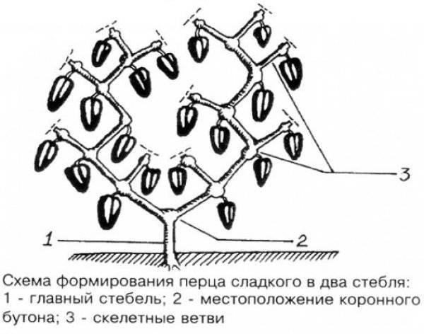 Формирование перца в теплице и открытом грунте