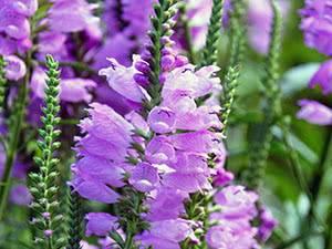 Физостегия: описание, фото сортов цветка, посадка, уход в открытом грунте