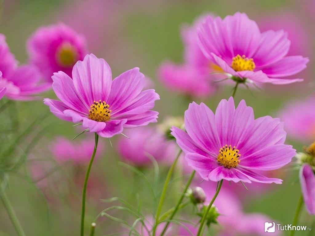 Цветы космея: посадка и уход, фото композиций в открытом грунте цветы космея: посадка и уход, фото композиций в открытом грунте