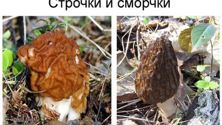 Грибы сморчки: съедобные и несъедобные фото, где и когда растёт сморчок