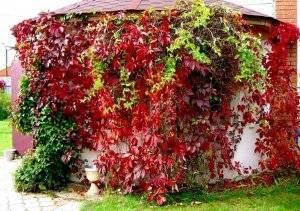 Размножение девичьего винограда: как размножить дикий виноград черенками, способы посадить и вырастить летом