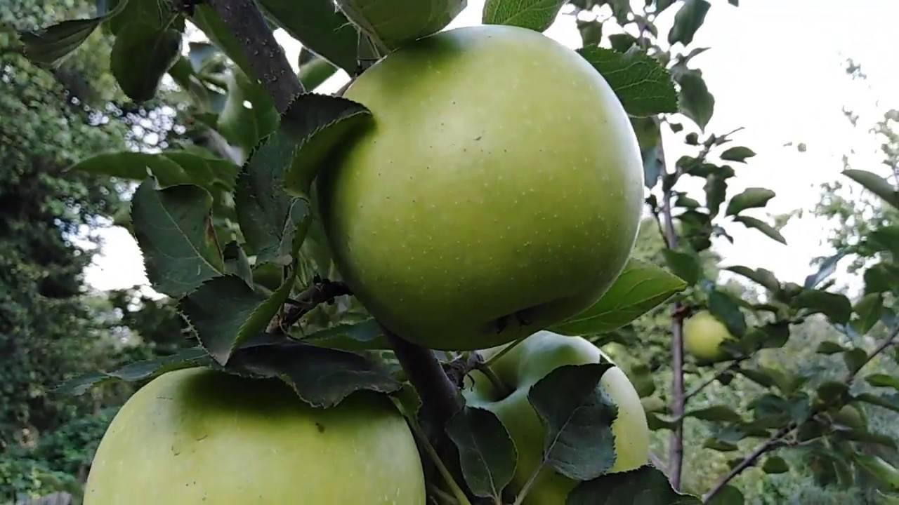 Яблоки «гренни смит» (13 фото): польза и вред, откуда привозят сорт в россию, вес, цвет и вкус