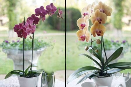 Основные причины, почему не цветут орхидеи?