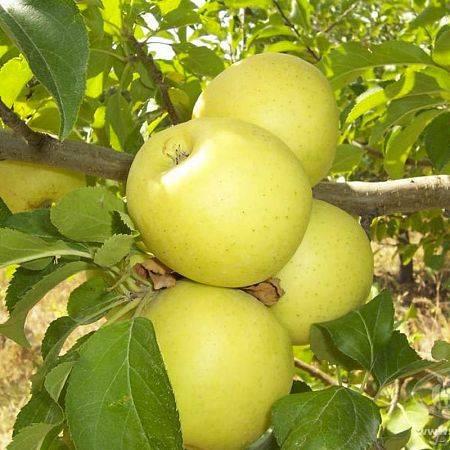 50 фото яблок антоновка, ? описание сорта, ее полезные свойства и противопоказания