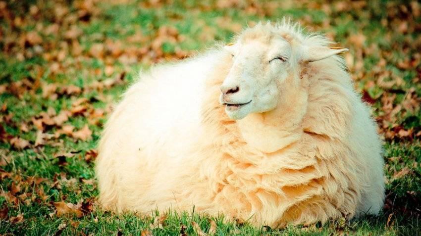 Окот овец и выращивание ягнят