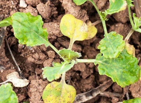 Почему у капусты желтеют листья и что делать. почему крутятся листья на капусте