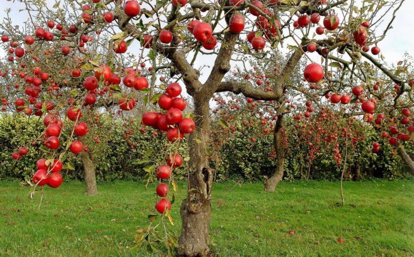 Как правильно подкормить яблони весной: чем, и когда удобрять деревья в саду. правила внесения удобрений под яблони весной