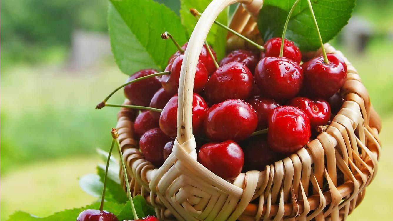 Описание сорта канадской вишни драгоценный кармин и характеристики плодоношения - всё про сады