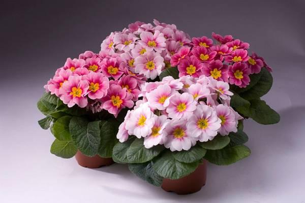 Примула комнатная (39 фото): уход за цветком в домашних условиях, посадка многолетнего растения дома в горшок, выращивание из семян