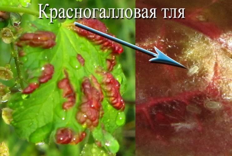 Описание и лечение распространенных болезней черной и красной смородины