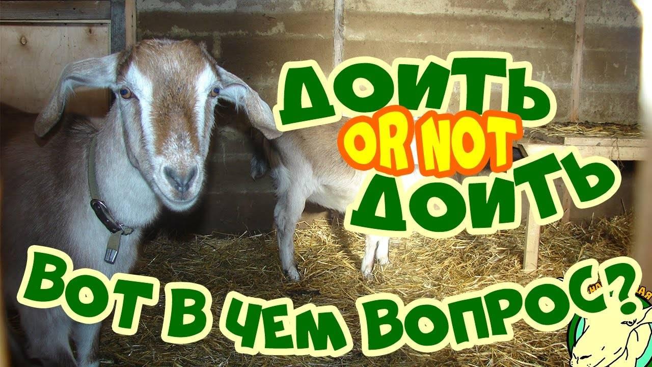Как правильно раздоить молодую козу: основные правила и особенности доения