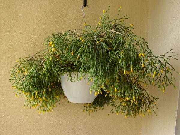 Особенности ухода за хатиорой в домашних условиях: как посадить, размножать, цветение