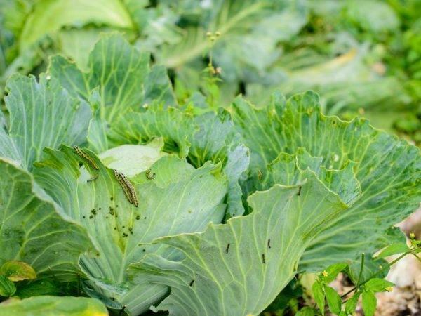 Капуста фарао f1: семена