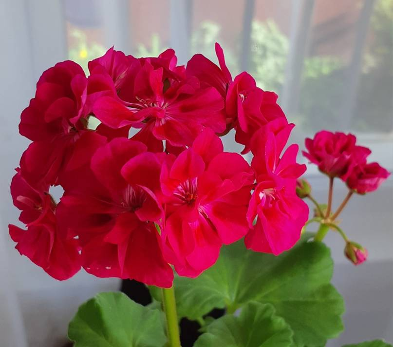 Pelargonium. пеларгония уход, фото, размножение, виды: пеларгония зональная и душистая
