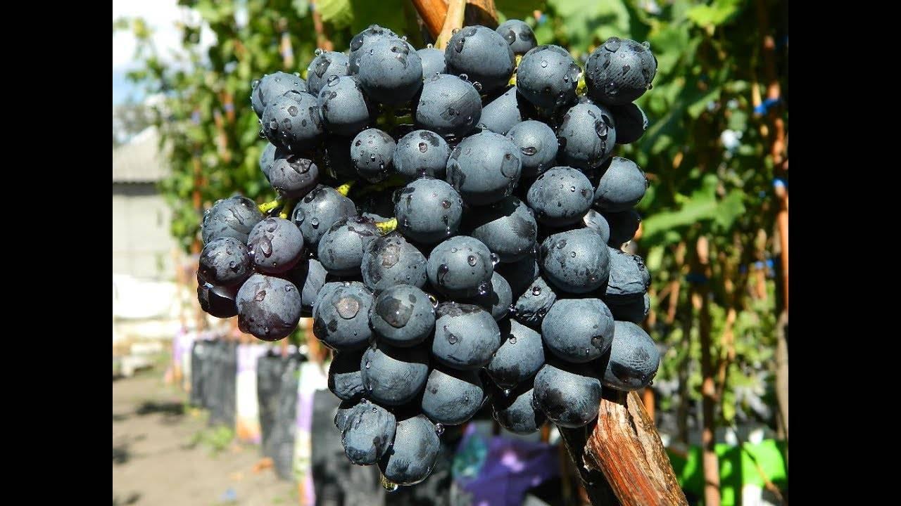 Черный виноград. знакомимся с лучшими сортами