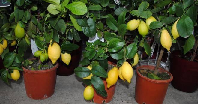 35 сортов комнатных лимонов, фото и описание