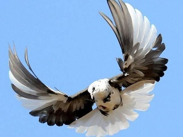 Отличительные черты серпастых голубей