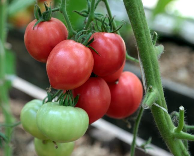 Томат «розовый спам f1»: описание, фото, характеристики, особенности выращивания, достоинства и недостатки сорта