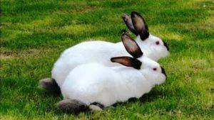 Разведение калифорнийских кроликов как бизнес: условия содержания и кормление :: businessman.ru