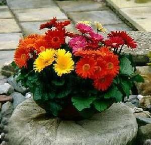 Гербера садовая: как сажать и ухаживать?